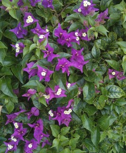 purple_tropical_flowers_cropped