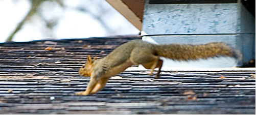 squirrel-bounding-2
