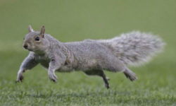 Squirrel bounding